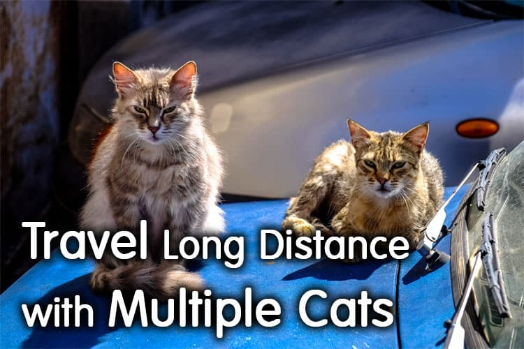 How To Travel Long Distance With Multiple Cats? Best Guide