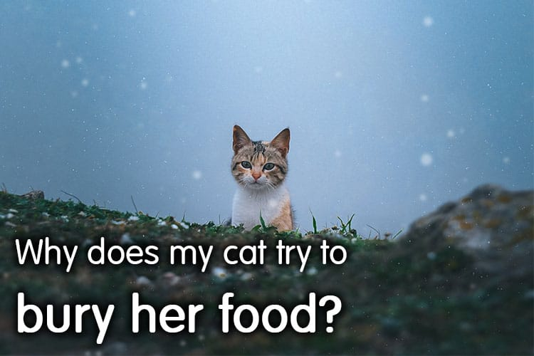 Why Does My Cat Try To Bury Her Food?