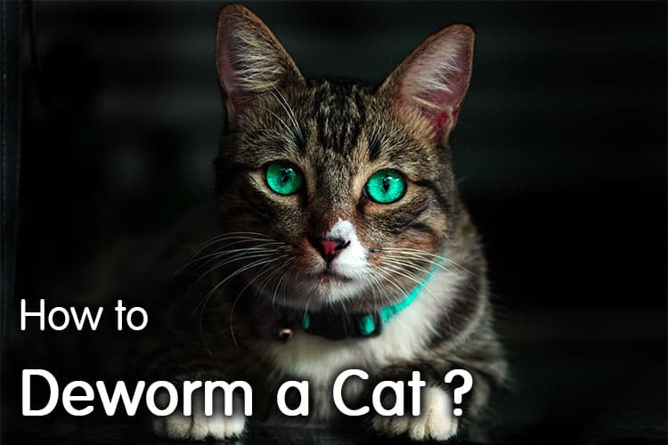 How To Deworm A Cat? Read Before Act