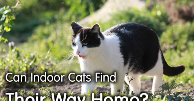 Can Indoor Cats Find Their Way Home