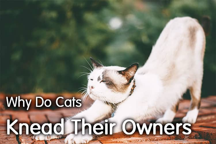 Why Do Cats Knead Their Owners