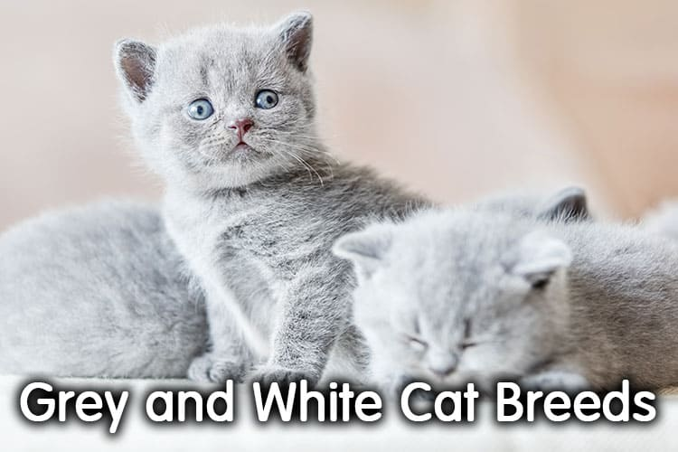 11 Gorgeous Grey And White Cat Breeds: With Pictures