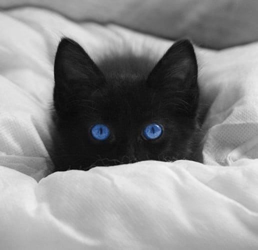 blue-eyed cats blind