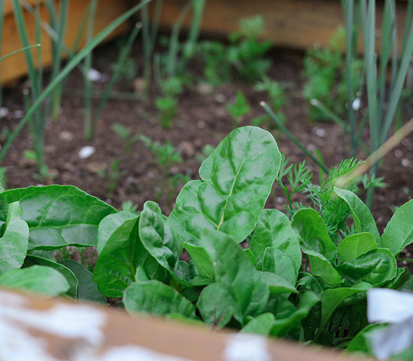 home grown spinach for cats and kittens