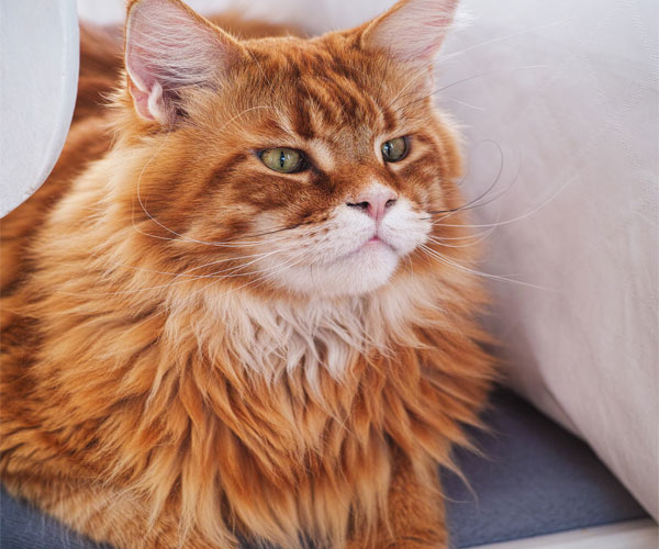 9 Talkative Cat Breeds: 3rd Breed So Awesome
