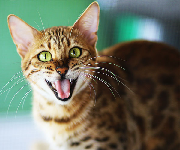 Why Cat Doesn't Meow: 7 Reasons You Never Knew